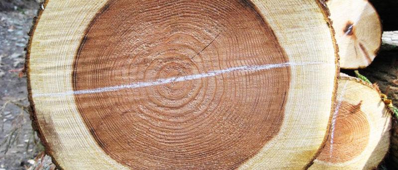 木の状況を見極めながら、造材を進める。