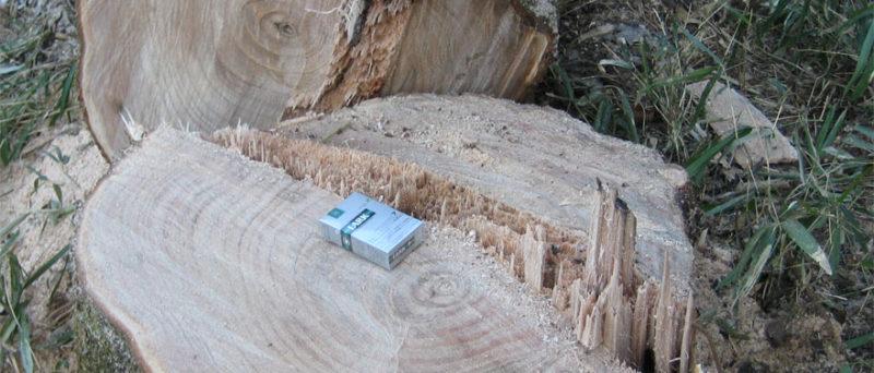かつては嫁入り道具の1つである箪笥の材料に必須だった桐の木。とても柔らかい材質の為、巨木になると伐倒に注意が必要。
