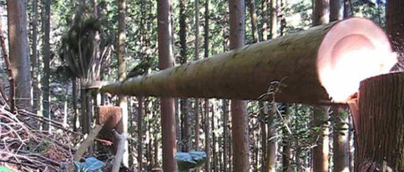 森林作業道作設における先行伐採では大小問わず、計画経路上に存在する木を伐採しなければならない。大小問わず危険が伴う。